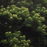 梅雨真っ只中 ヤンバルアワブキの花