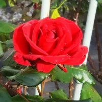晩秋の都電と薔薇ー2