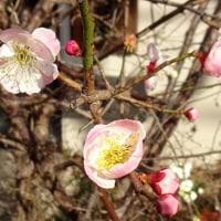 今年もムスカリ、咲いた!