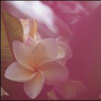 プルメニアも開花