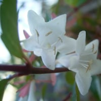 花のリレー アベリア