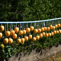 冬の風物詩の干し柿が並んでいます。(Photo No.13851)