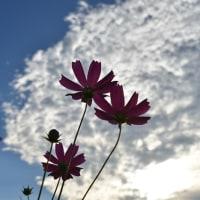 うろこな雲とコスモス
