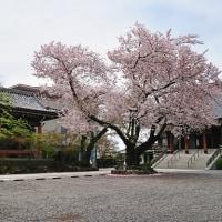 傳通院(でんづういん)の桜
