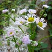 春紫苑・・・ハルジオン