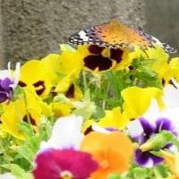 スミレの花 と ツマグロヒョウモン蝶 そして鳥