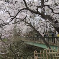 高遠城跡の桜