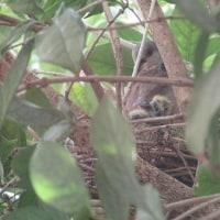 鳩の赤ちゃん ♪