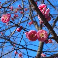 八重寒紅とハクモクレンの冬芽