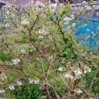 ブルーベリーも花盛りになりました