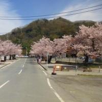 長瀞の桜 北桜通り