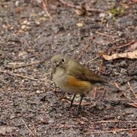 wild birds 3