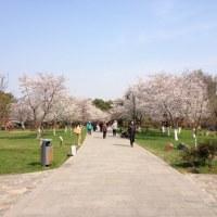 南京の桜見物