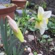 庭に春の花が・・・・・
