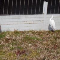 「ダイサギ、アオサギ、コサギ」