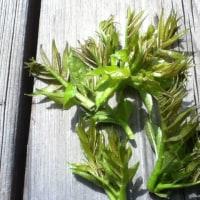 タラの芽 収穫いたしました