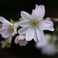 21日の散歩 ( 北野天満宮と平野神社への散歩から、桜便り、秋便り )