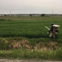デュラム小麦の追肥