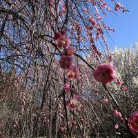 梅~は咲いたかな?梅林公園