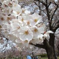小松川千本桜お花見