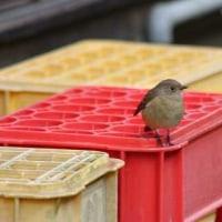 鳥撮り日記ージョウビタキ・ノゴマ