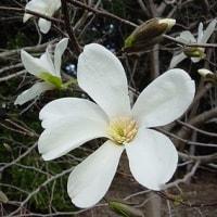 季節の花「辛夷 (こぶし)」