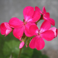 「おはようの花」 ゼラニウム1月