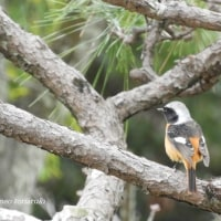 ジョウビタキと公園の鳥たち