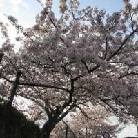 今年・2017年の〈桜〉の写真をUP!