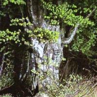 5月24日  ブナの古木の芽吹き
