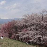こなつ アンズと桜の花見ざんまい
