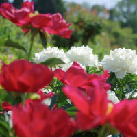 日野ダリア園 石楠花とクレマチスがきれいでした(友人投稿)