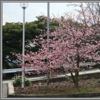 津久見・四浦半島一周 満開の河津桜を見に行ってきました