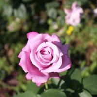 薔薇よりきなちゃん