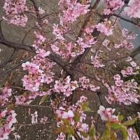 今年も早咲きの桜を