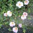 ムクゲの咲く季節─…*☆