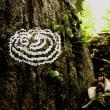 白い隠れ帯の目立つクモ:アマミウズグモとギンナガゴミグモ