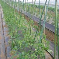キュウリ採れ始める、トマト芽かき誘引