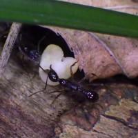 火山の島で生きる蟻