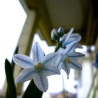 ユリ科プスキニアの花