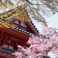 琥珀色の目。。by にゃぁ~にゃぁ~の日 & 勝尾寺の桜とコスプレ撮影