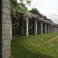 札幌市  前田森林公園  藤棚を見て来た。