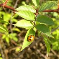ノイバラの葉にナナホシテントウ