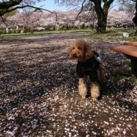 桜咲く公園でおにぎり