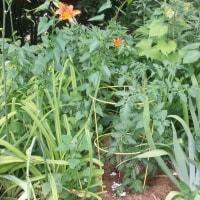 家庭菜園とこれはネモフィラ?