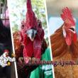 Sabung Ayam Info 4 Jenis Ayam Aduan Yang Sangat Mahal