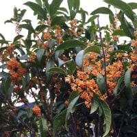 金木犀(osmanthus fragrans var. aurantiacus)