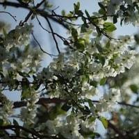 フリージア、シュンラン、ギョウリュウと花が咲きます