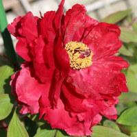 「家の花」毎年咲きます牡丹の花