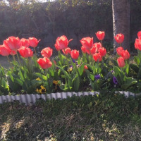 チュウリップも咲きそろいました